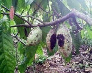 cara mengataso penyakit pada tanaman kakao