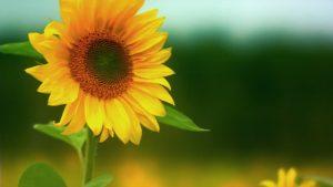 6 Cara Menanam Bunga Matahari Hidroponik Paling Mudah Ilmubudidaya Com