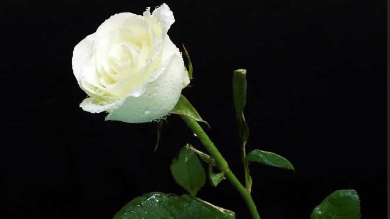 10 Cara Menanam Bunga Mawar Putih Yang Cantik Ilmubudidaya Com