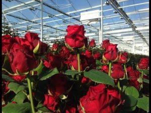 Bunga-mawar-potong