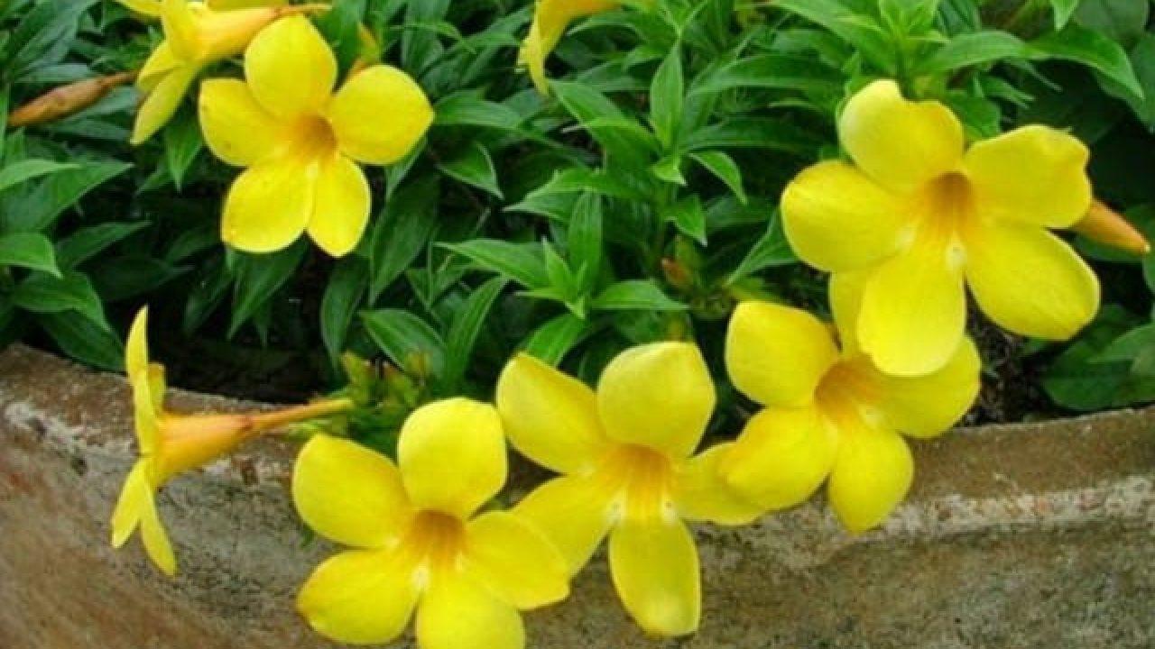 10 Cara Menanam Bunga Alamanda Dengan Teknik Paling Mudah Ilmubudidaya Com