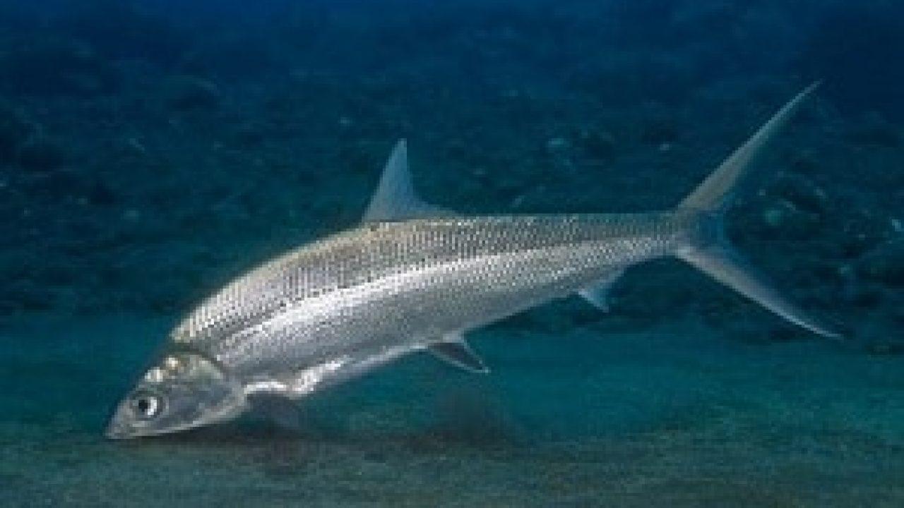5 Cara Budidaya Ikan Bandeng di Kolam Terpal - IlmuBudidaya.com
