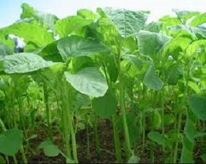 cara mengatasi hama pada tanaman bayam