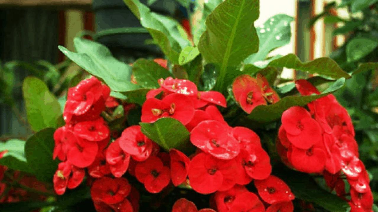 3 Cara Stek Bunga Euphorbia Dan Perawatannya Ilmubudidaya Com