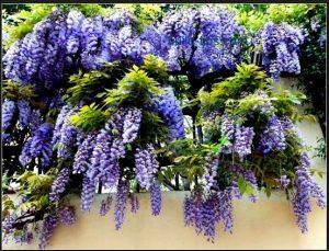 Cara menanam bunga wisteria