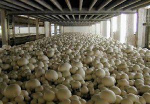 cara budidaya jamur merang
