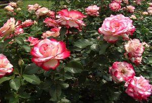 cara menanam bunga mawar di musim hujan