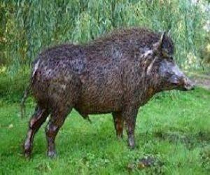 cara mengatasi hama babi pada tanaman sawit