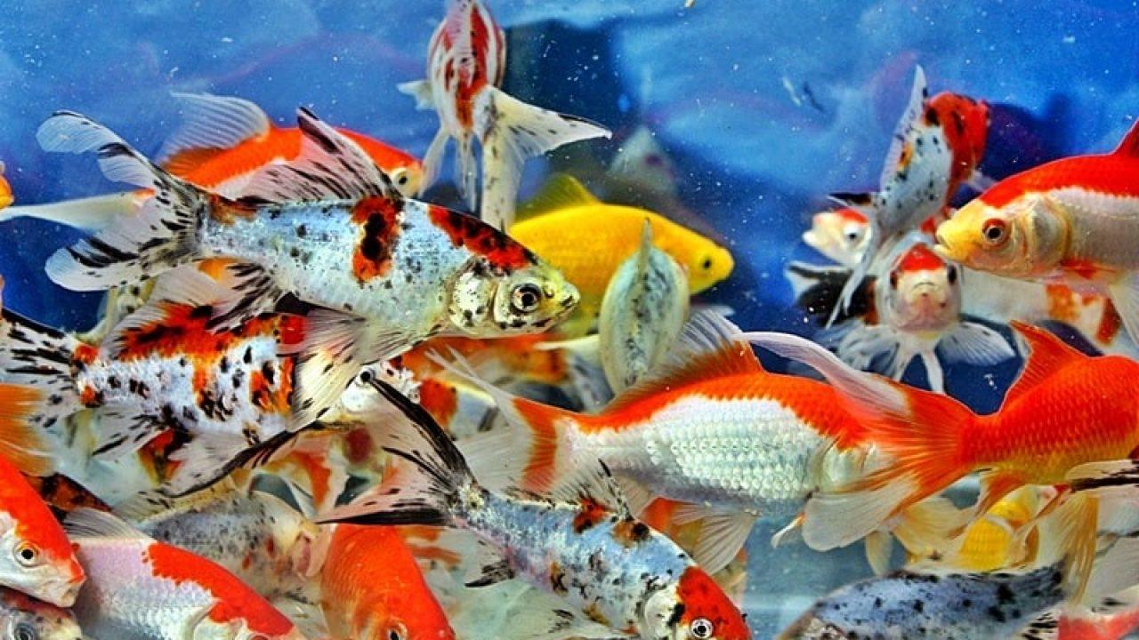 Tips Cara Belajar Budidaya Ikan Mas Koki Di Akuarium Untuk Pemula
