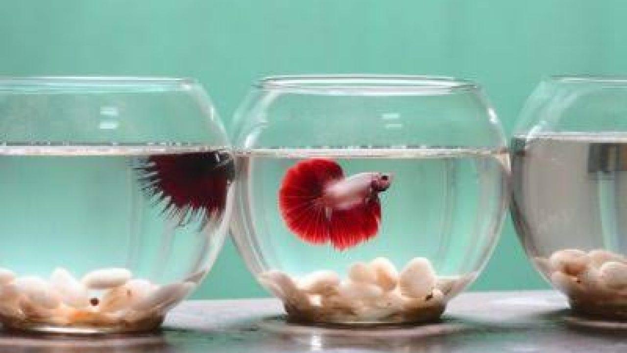 5 Cara Budidaya Ikan Cupang Di Akuarium Yang Benar Ilmubudidaya Com