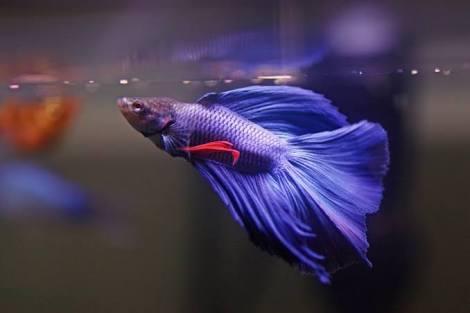 Cara Budidaya Ikan Cupang di Akuarium - IlmuBudidaya.com