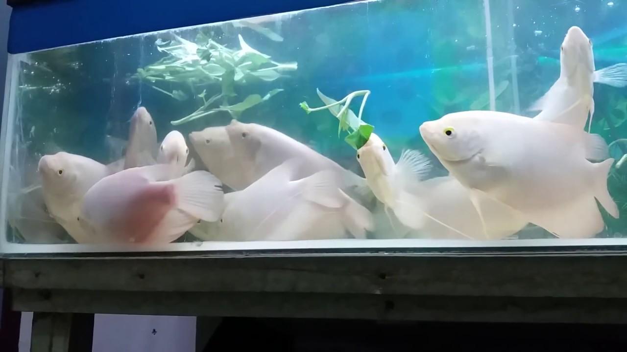 6 Cara Budidaya Ikan Gurame Di Akuarium Serta Cara Merawatnya Ilmubudidaya Com
