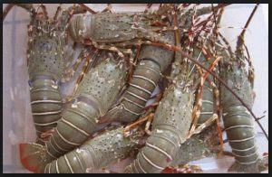 Cara budidaya lobster di kolam terpal