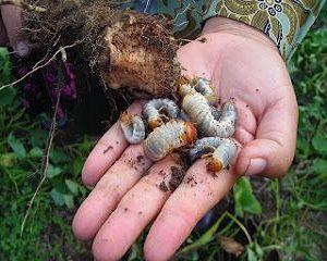 cara mengatasi hama uret pada tanaman