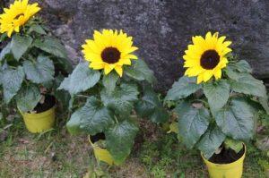 Cara Menanam Bunga Matahari Menggunakan Kapas Paling Mudah Ilmubudidaya Com