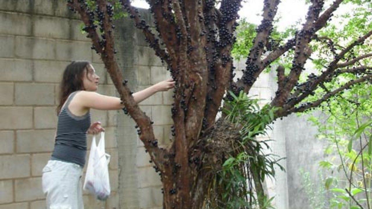 5 Cara Merawat Anggur Brazil Agar Cepat Berbuah Ilmubudidaya Com