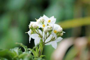 5 Cara Merawat Bunga Melati Agar Cepat Berbunga Dengan Mudah Ilmubudidaya Com