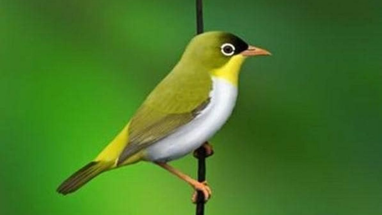 6 Cara Budidaya Burung Pleci Kacamata Dan Tips Ilmubudidaya Com