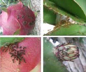 cara mengatasi hama semut pada tanaman buah naga