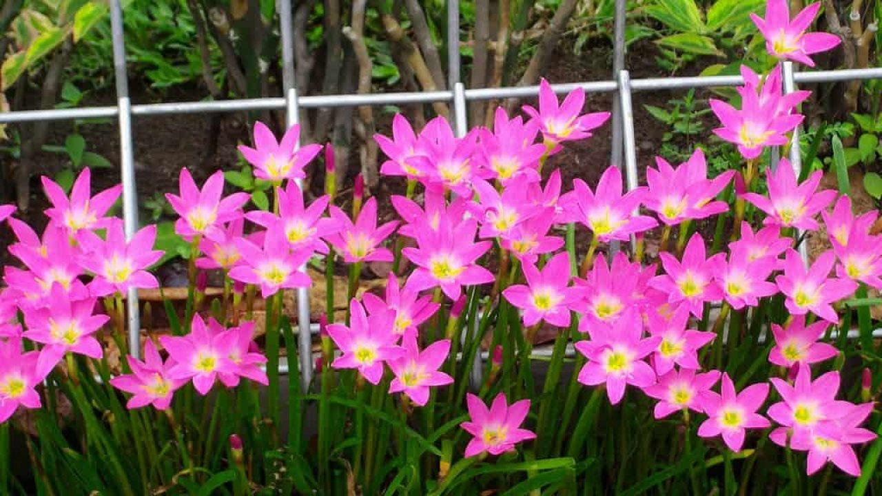 5 Cara Menanam Bunga Zephyranthes Dari Biji Ilmubudidaya Com
