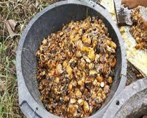 cacahan keong sebagai pakan alternatif ikan