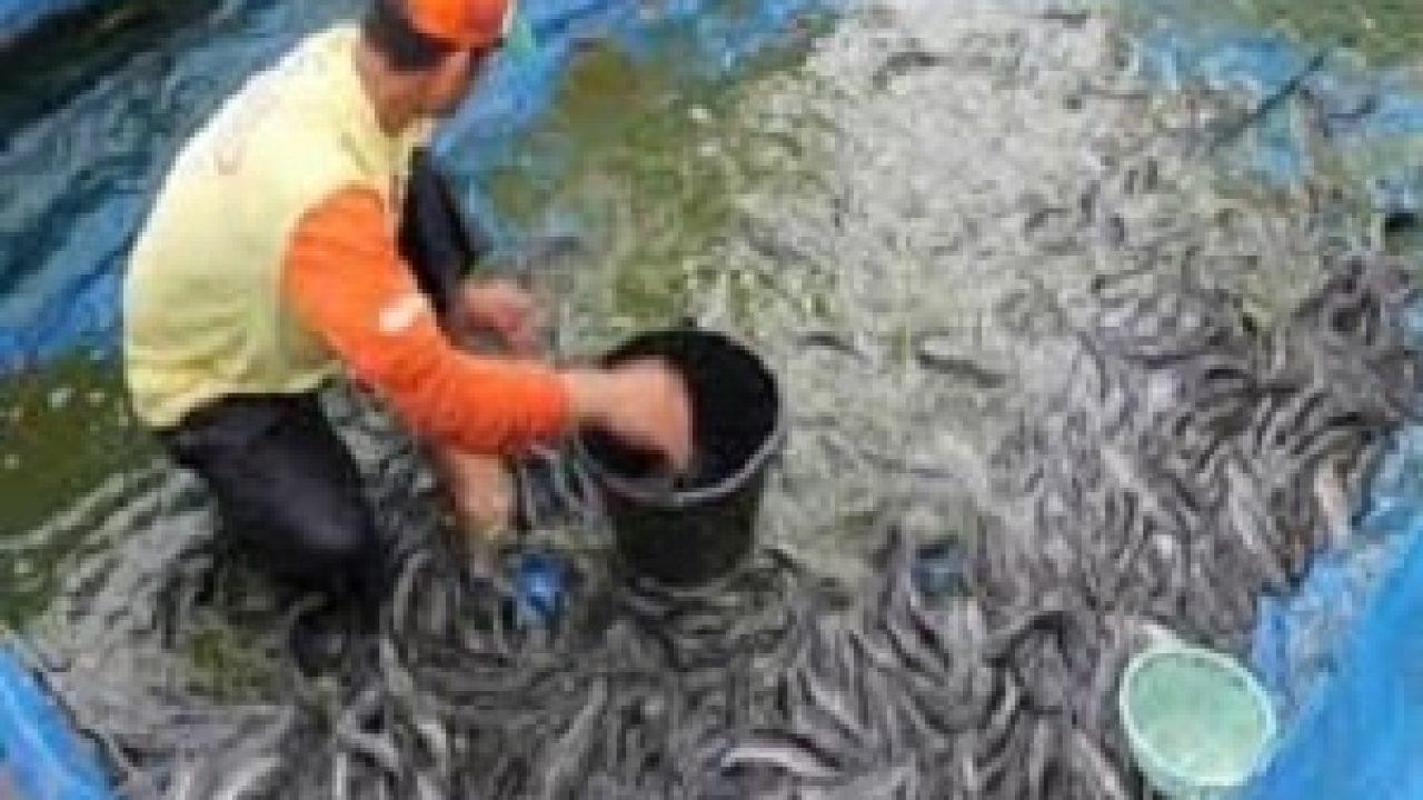 6 Tips Sukses Budidaya Ikan Lele Bagi Pemula Dengan Teknik Mudah Ilmubudidaya Com