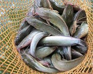 cara mengatasi hama ikan lele