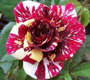 Cara Kawin Silang Bunga Mawar Dengan Mudah Ilmubudidaya Com