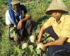 tumpang sari tanaman melon dan cabe