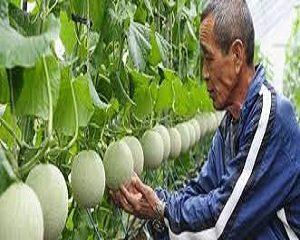 benih melon terbaik tahan penyakit