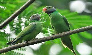 5 Cara Budidaya Burung Betet Yang Pasti Berhasil Ilmubudidaya Com