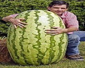 cara membesarkan semangka ukuran raksasa