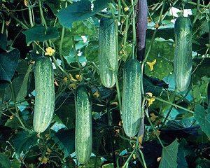 daftar benih timun terbaik tahan penyakit