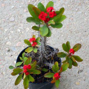 Cara Mudah Dan Jitu Perkembangbiakan Tanaman Euphorbia Milii Dengan Stek Ilmubudidaya Com