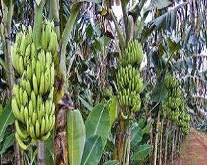 cara menanam pisang ambon