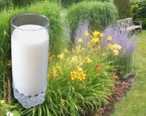 cara membuat pupuk organik dari susu basi