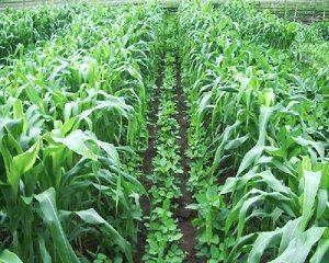 cara tumpang sari tanaman jagung dan kacang tanah