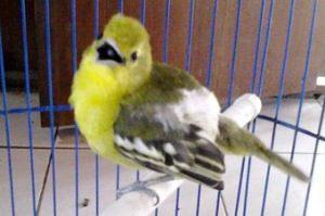 7 Cara Budidaya Burung Cipoh Bagi Pemula Ilmubudidaya Com