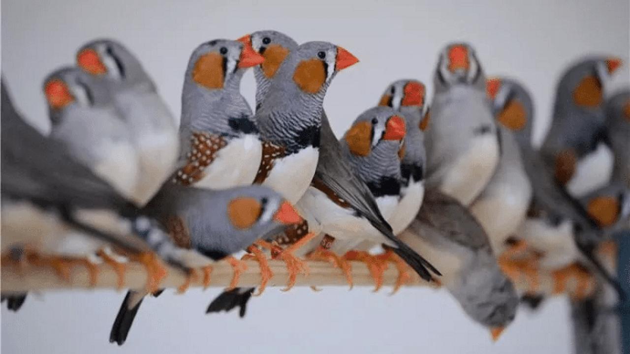4 Cara Budidaya Burung Zebra Finch Bagi Pemula Yang Mudah Ilmubudidaya Com