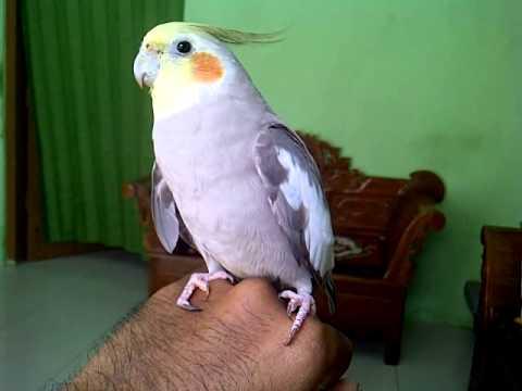 7 Cara Budidaya Burung Falk Australia Bagi Pemula Ilmubudidaya Com