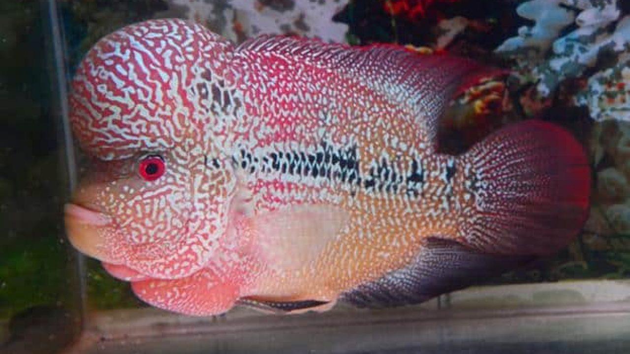 7 Cara Budidaya Ikan Louhan Cencu Yang Tak Perlu Pusing Ilmubudidaya Com