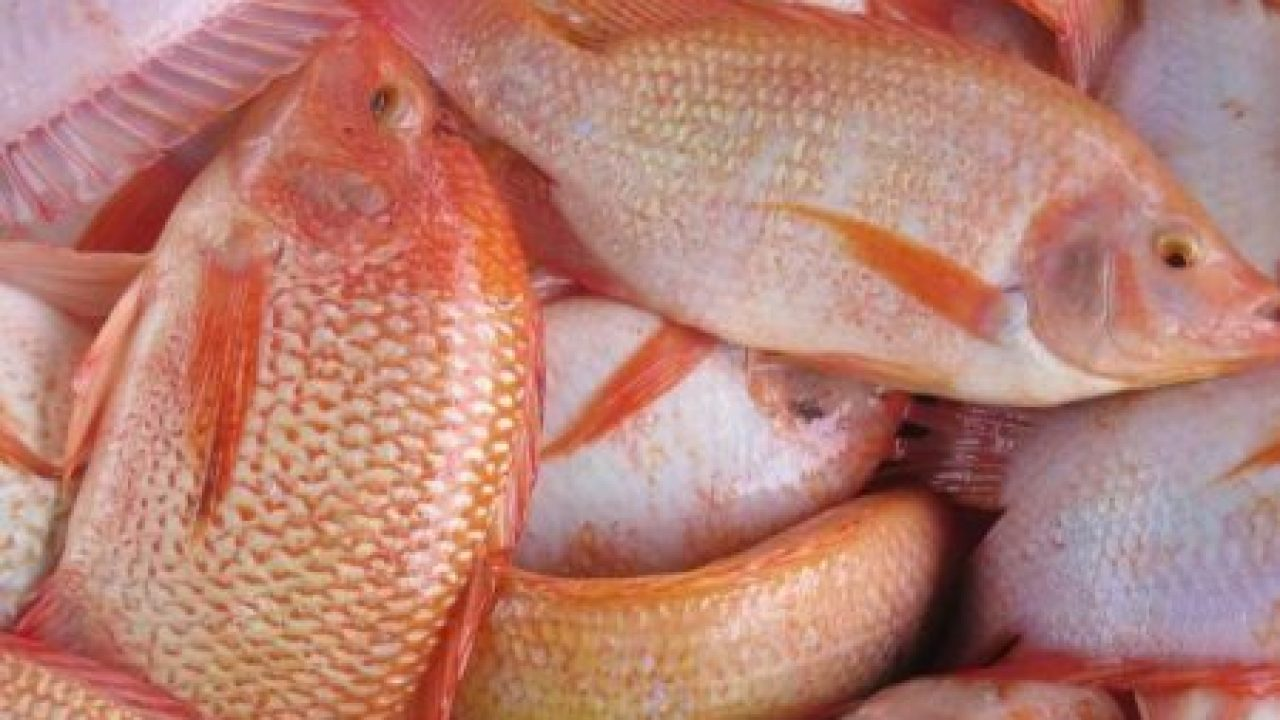Cara Budidaya Ikan Nila Merah Di Kolam Tembok Yang Paling Mudah Ilmubudidaya Com