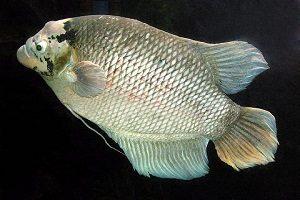 Cara Budidaya Ikan Gurame Soang Dengan Mudah Untuk Pemula Ilmubudidaya Com