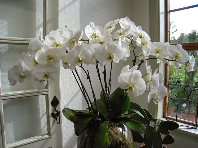 cara budidaya tanaman hias bunga anggrek - Tanaman Hias, Percantik Rumah dan Sehatkan Penghuninya