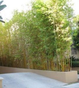 bambu tumbuhan dinding