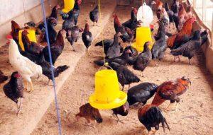 Cara Budidaya Ayam Bangkok yang Menguntungkan
