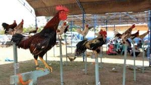 Cara Budidaya Ayam Ketawa