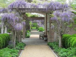 kanopi wisteria