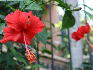 Kenapa Bunga Kembang Sepatu Tidak Berbuah Dan Cara Merawatnya Ilmubudidaya Com