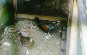 Cara Budidaya Ayam Hutan Hijau